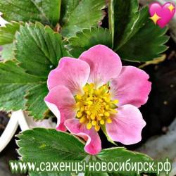 Земляника садовая ремонтантная Роман