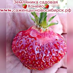 """Земляника садовая """"Хонеойе"""""""