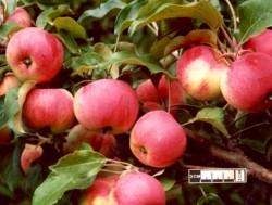 Яблоня Стройная на карликовом подвое