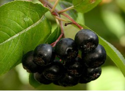 Арония ( Рябина)  черноплодная