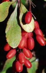 Барбарис зелёный обыкновенный
