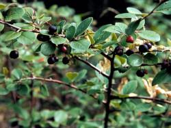 Кизильник чёрноплодный