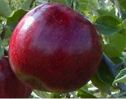 """Яблоня """"Красный рубан"""""""