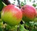 Яблоня Богатырь стелющаяся