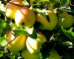 """Яблоня """"Лимонка"""" на карликовом подвое"""