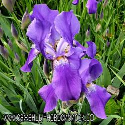 Ирис садовый синий многолетний