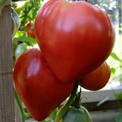 """Томат """"Бычье сердце """" красный"""