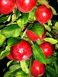 Декоративная яблоня Манящий аромат