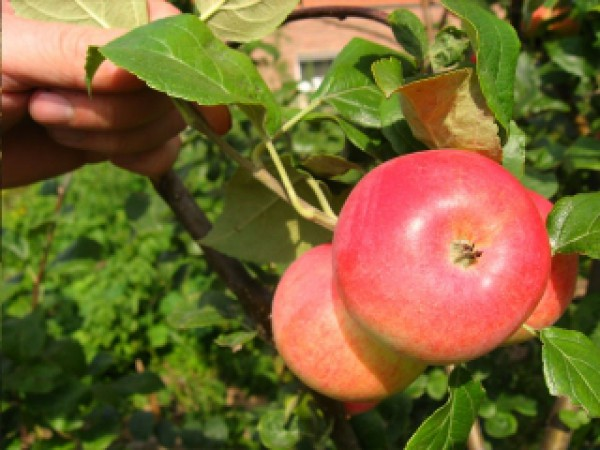 Выращивание роз во 2й климатической зоне  Энциклопедия роз