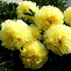 "Пион ""Барцелла"" жёлтый"