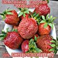 """Земляника садовая """"Марышка"""""""