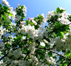Яблоня сибирская ягодная ( непривитая)