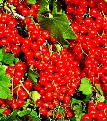 Смородина красная Мармеладница