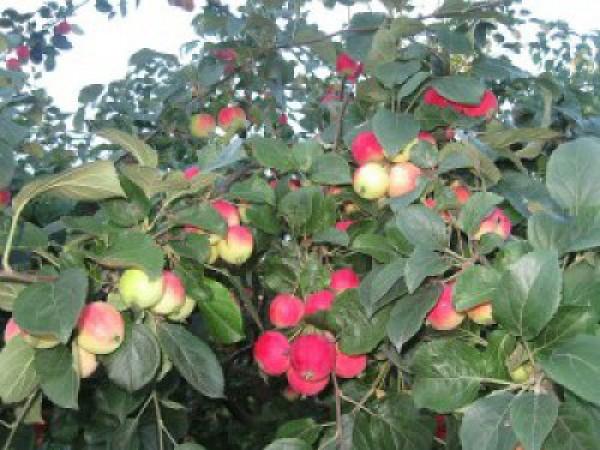 алтайское румяное яблоня описание фото отзывы