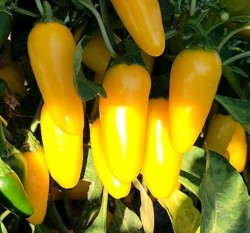 Острый перец Халапеньо жёлтый